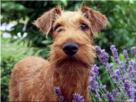 Terrier irlandzki