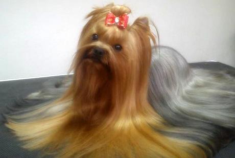 Piesporadnikpl Yorkshire Terrier