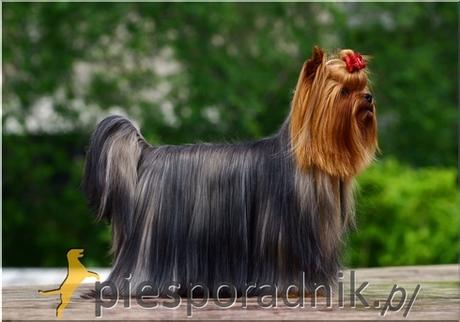 Szczotkowanie Sierści Psy Długowłose Piesporadnikpl