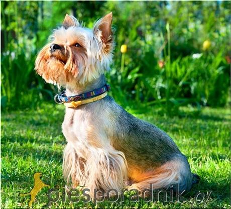 Yorkshire Terrier Wszystko O Rasie Piesporadnikpl